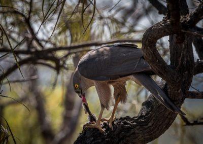 australien greifvogel maus