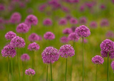 blumenwiese blueten pink