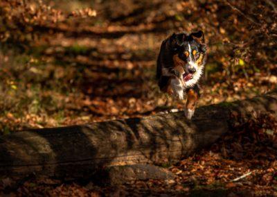 hund sky springt baum herbst