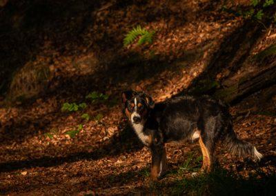 hund sky wald herbst