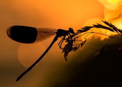libelle silhouette bokeh sonne