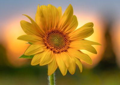 sonnenblume sonnenuntergang