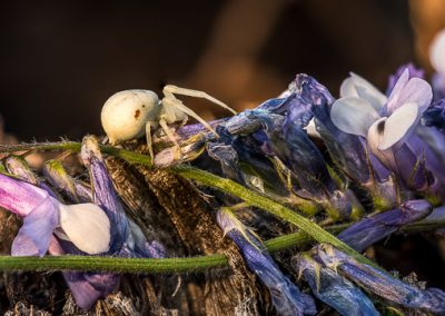 spinne bluete lila