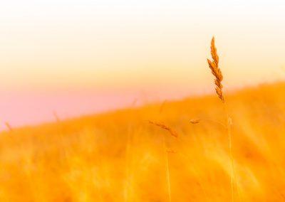 vogesen korn sonnenuntergang